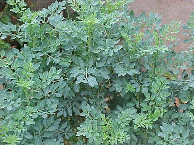 plantas repelente insetos arruda
