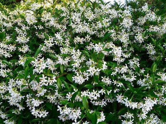plantas repelente insetos jasmim