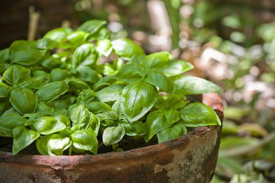 plantas repelente insetos manjericao